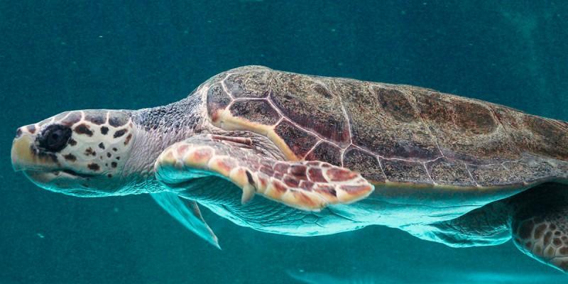 Большие черепахи бороздят океан